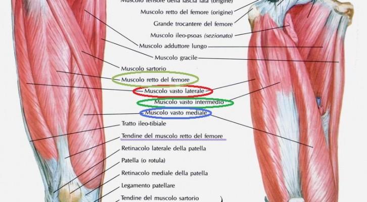 Anatomia – Muscoli della coscia (prima parte)